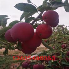 枝条舒展长富12号苹果苗、长富12号苹果苗几年挂果图片