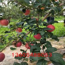 长富12号苹果苗有多少种、长富12号苹果苗信息推荐图片