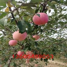 红丽苹果苗、红丽苹果苗怎么栽培图片