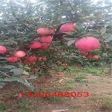 油润黑亮的3公分苹果苗、3公分苹果苗想问问哪家的苗好图片