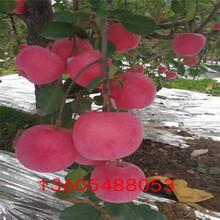 红粉女士苹果苗、平邑红粉女士苹果苗繁育中心图片