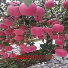 立山区美国八号苹果苗主要产自哪里图片