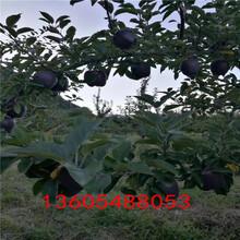 物美价廉的藤木苹果苗、藤木苹果苗种植经验图片