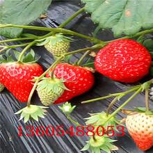 妙香草莓苗、妙香草莓苗点击查看图片