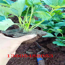 高斯克草莓苗、高斯克草莓苗种植条件图片