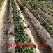 营养钵草莓苗定植一年管理技术要求、营养钵草莓苗相关信息
