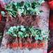 山谷女王草莓苗批发货源地、山谷女王草莓苗看苗挖苗