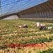 女丰草莓苗上车栽培技术、女丰草莓苗最新价格查询