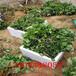 印度卡草莓苗一级苗、印度卡草莓苗你值得拥有