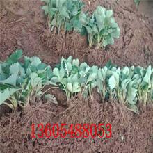 森嘎拉草莓苗、清浦区森嘎拉草莓苗价格图片