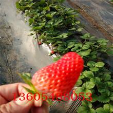 临城妙香7号草莓苗零售最低价图片