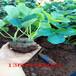 香绯草莓苗的价格、香绯草莓苗送到什么价格