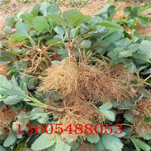 结果能力强弥生姬草莓苗、弥生姬草莓苗栽植方案图片
