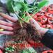 星都二号草莓苗购买注意事项、星都二号草莓苗生产条件