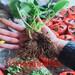 美伦美味的香绯草莓苗、香绯草莓苗主要修剪注意事项