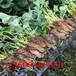土特拉草莓苗介绍简介、土特拉草莓苗水土要求