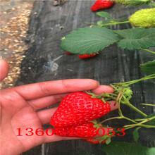 咖啡草莓苗、咖啡草莓苗专卖店图片