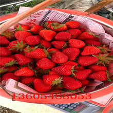 麻章区菠萝草莓苗量大从优图片