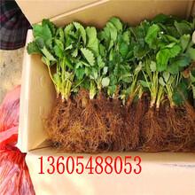 古都华草莓苗、象州古都华草莓苗栽培技术要点图片