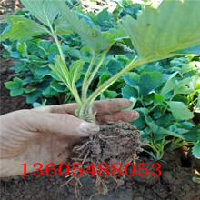 玛利亚草莓苗、长汀玛利亚草莓苗什么品种好图片