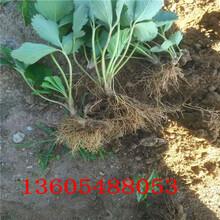 雪兔草莓苗、雪兔草莓苗育苗基地(请您查看)图片