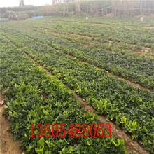 果实极耐贮运丰香草莓苗、丰香草莓苗管理步骤图片