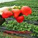 星都2号草莓苗产量高吗、星都2号草莓苗看苗挖苗