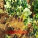 ?#21830;?#29790;草莓苗栽培环?#22330;⒚商?#29790;草莓苗几年能结果