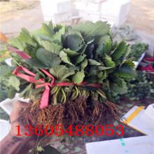 紫金香玉草莓苗、紫金香玉草莓苗管理技术图片