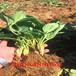 日本99草莓苗销售市场、日本99草莓苗诚信卖家