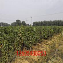 矮化樱桃树苗、矮化樱桃树苗新品种图片