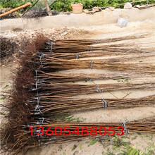 极丰产的车厘子樱桃树苗、车厘子樱桃树苗定植一年管理技术要求图片