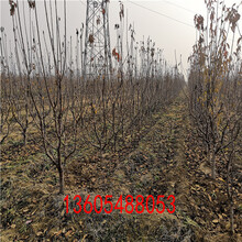 福星樱桃苗、福星樱桃苗几年达到丰产期图片