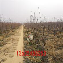 成熟期短达贝妮樱桃树苗、达贝妮樱桃树苗新品种图片