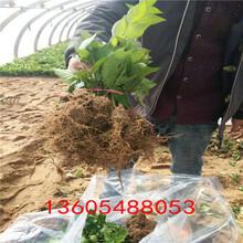 普洱桑提娜樱桃树苗适合在哪里种植图片