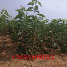 肉质脆硬吉塞拉6号砧木、吉塞拉6号砧木发展前景及趋势图片