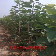 可食率高宾库樱桃树苗一级苗图片