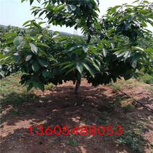 对土壤要求不高的佐滕锦樱桃树苗、佐滕锦樱桃树苗长势壮图片