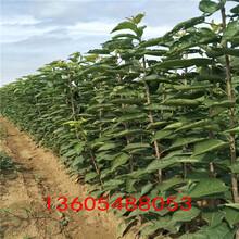 风味浓甜俄罗斯八号樱桃苗、俄罗斯八号樱桃苗栽培技术图片