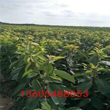 抗氧化强含量高的矮化樱桃树苗、矮化樱桃树苗果子口感怎么样图片
