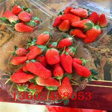 名声在外的淡雪草莓苗买几年樱桃苗好图片