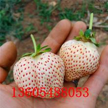 石碣镇美13草莓苗病虫害防治图片