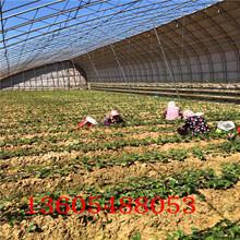 阳山美13草莓苗优质苗多少钱一棵图片