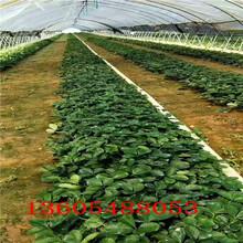 品质上等奶油草莓苗有多少种图片