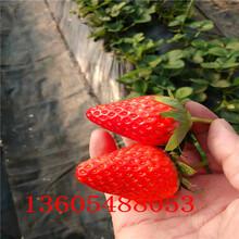 漳浦红袖添香草莓苗育苗方法图片