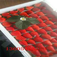 适合密植甜宝草莓苗什么样子图片