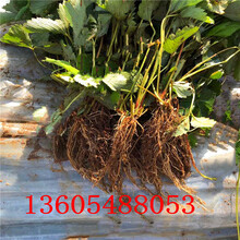满洲里蒙特瑞草莓苗量大优惠图片