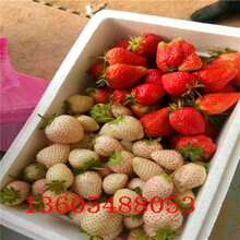 超级的红颊草莓苗哪家好图片
