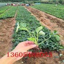 清涧九香草莓苗怎么栽培图片