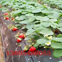 定结京藏香草莓苗公司动态图片